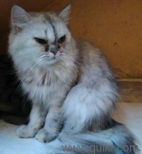 Persian two female cat in 80 Ft. Road, Bangalore Pets on Bangalore ...