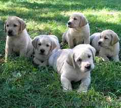 Buy labrador puppy in gurgaon