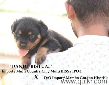 Rottweiler puppy 40 days