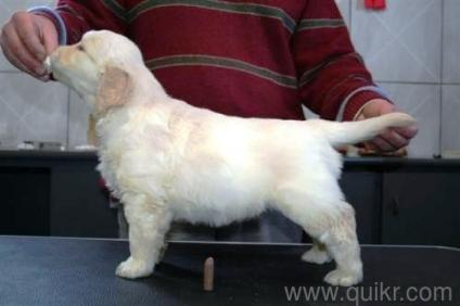 Golden retriever puppies price in noida